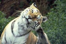 tiger kick